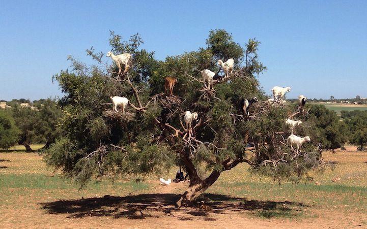 cabras-arganes-thenextborder